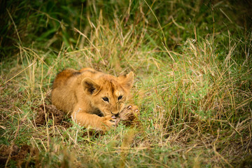 Young wild lion cub in grass