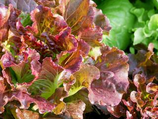 Fresh red oak lettuce with green oak lettuce and cos lettuce