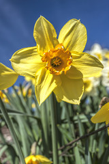 Pretty yellow daffodil.