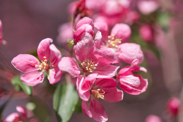 Spring flowering cherry, pink flowers close-up