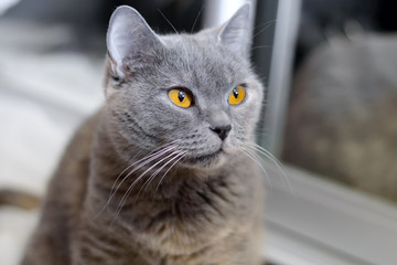 British cat with amber eyes. Blue pedigreed kitty is staring. A pet animal in the house.