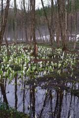 秋田県 刺巻湿原 水芭蕉 群生地