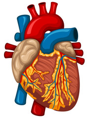 Vector illustration of a human heart.
