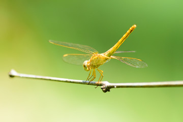 Beautiful yellow dragonfly on dry branch with green background in nature