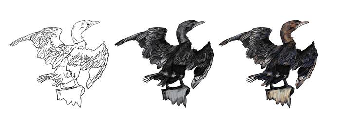 Drawing of Little cormorant bird