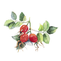 A branch of dog rose (eglantine) with three red berries and green leaves in the Botanical style. Watercolor illustration isolated on white. Sketch hand drawn fruits of dog rose flower and leaf.