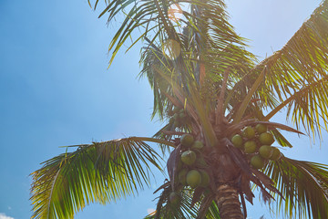 Exotic coconut palm
