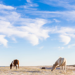 Dzikie konie na plaży. - 144799404