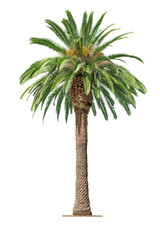Palm on white background
