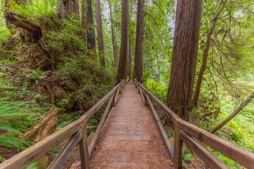 Wooden bridge in the fairy green forest. Large trees were overgrown with moss and fern. Redwood national and state parks. California, USA