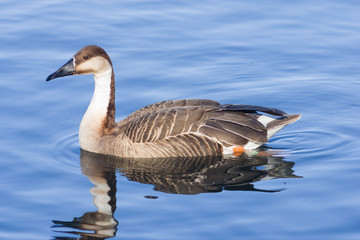 Greater white-fronted goose Anser albifrons swimming in pond close-up portrait with reflection, selective focus, shallow DOF