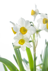 Photo sur Aluminium Narcissus