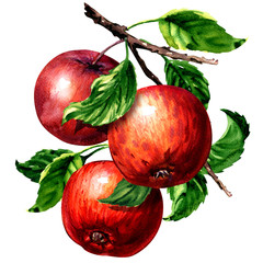 Ripe three red apples with leaves on branch isolated, watercolor illustration on white