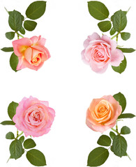 Pink rose set closeup isolated on white background