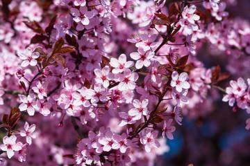 Rosa Zierkirschen blühen