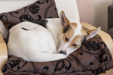 White cross-breed of hunting and northern dog sleeping in a chair