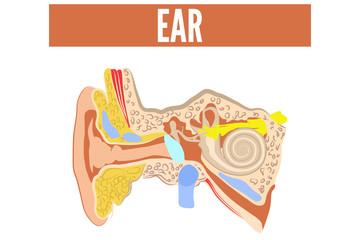 Ear. Vector illustration.