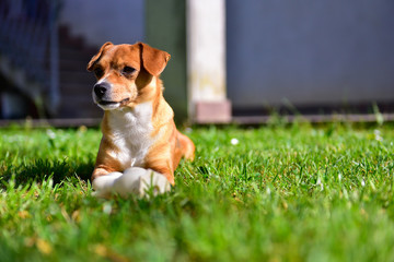 A small and sweet light brown and white dog is lying on a lawn with a rubber duck in front of him in a sunny day