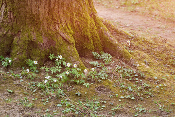 Tree in spring forest surrounded by flowers