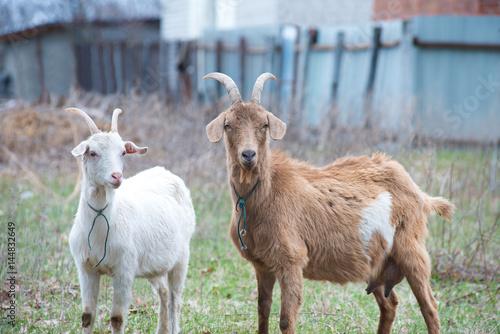 Homemade goats on the backyard