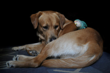 Friendship of parrot and a dog