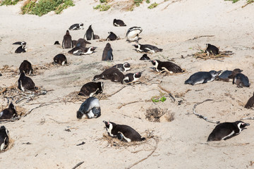 Penguins rest on the beach, Boulders beach, South Africa.