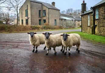 Three sheep facing the camera