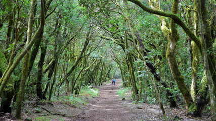 GARAJONAY NATIONAL PARK, LA GOMERA, SPAIN: Laurel forest and its tangle of moss covered trunks and branches