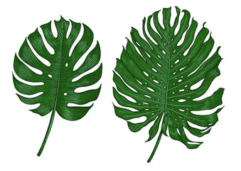 Monstera leaf illustration, drawing, engraving, ink, line art, vector
