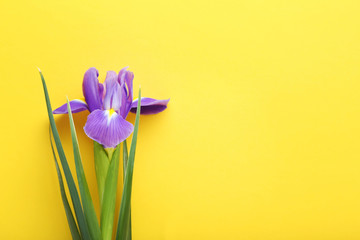 Purple iris flower on yellow background
