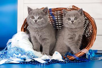 Two British blue kittens, Scottish straight.