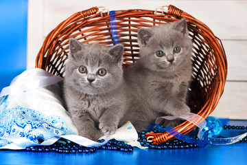 Two British blue kittens, Scottish straight.