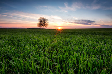 Alone in the field / Sunset view of a spring field with a lonely tree near Varna, Bulgaria