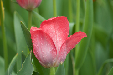 Tulips Red Single