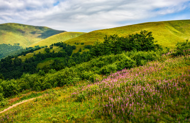 meadow with purple flowers in Carpathian mountains in summer
