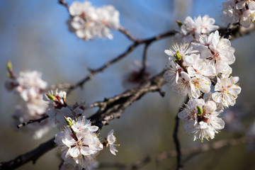 Apricot tree blossom flower.