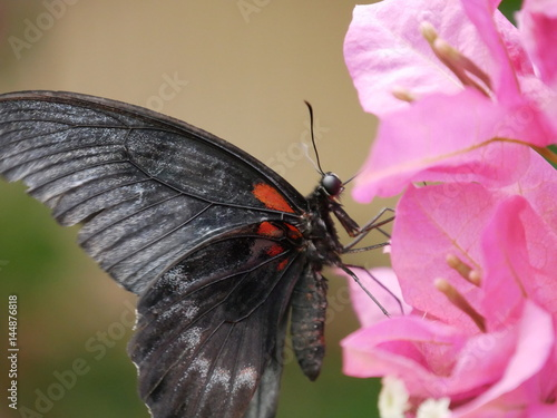 schmetterling rot schwarz auf bl ten stock photo and royalty free images on pic. Black Bedroom Furniture Sets. Home Design Ideas
