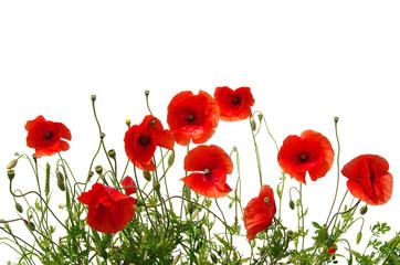 Papiers peints Poppy red poppies on white