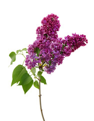 Foto op Aluminium Lilac Lilac flower isolated on white