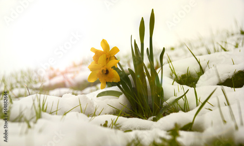 Fruhlingsblumen Im Schnee Stock Photo And Royalty Free Images On