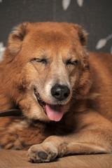Beautiful alabai central Asian shepherd dog