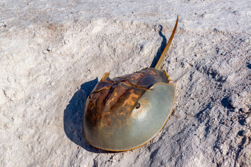 Horseshoe Crab and Sand
