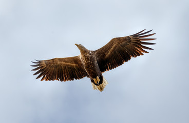 White Tailed Eagle looking out for prey flying in the sky in the Delta of the Volga River, Russia