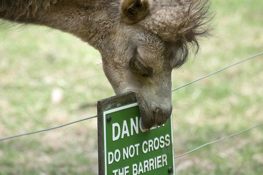 Camel eating danger sign