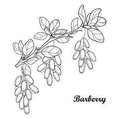Vector branch with outline Barberry or Berberis vulgaris, bunch, ripe berry and leaves isolated on white. Ornate floral elements with barberry in contour style for summer design and coloring book.