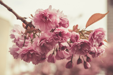 Spring blossom in full glory on the tree. Picture is close up bunch of flowers. Hue is old rose for a romantic effect.