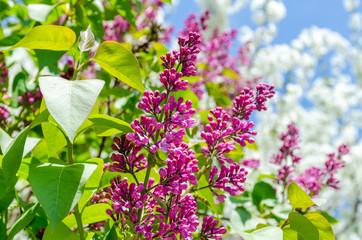 Purple lilac bush blooming.