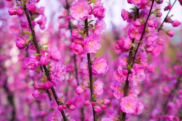 Background of beautifully blooming sakura