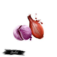 Digital art French Shallot onion or Allium cepa, aggregatum isolated on white background. Organic healthy food. Green vegetable. Hand drawn plant closeup. Clip art illustration. Graphic design element