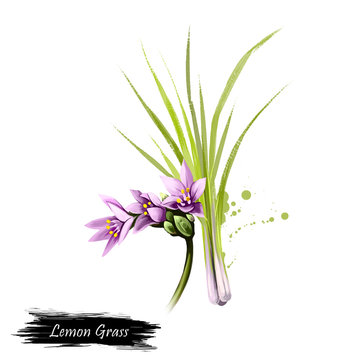Digital art illustration of Lemon grass, Cymbopogon citratus isolated on white background. Organic healthy food. Green vegetable. Hand drawn plant closeup. Clip art illustration graphic design element